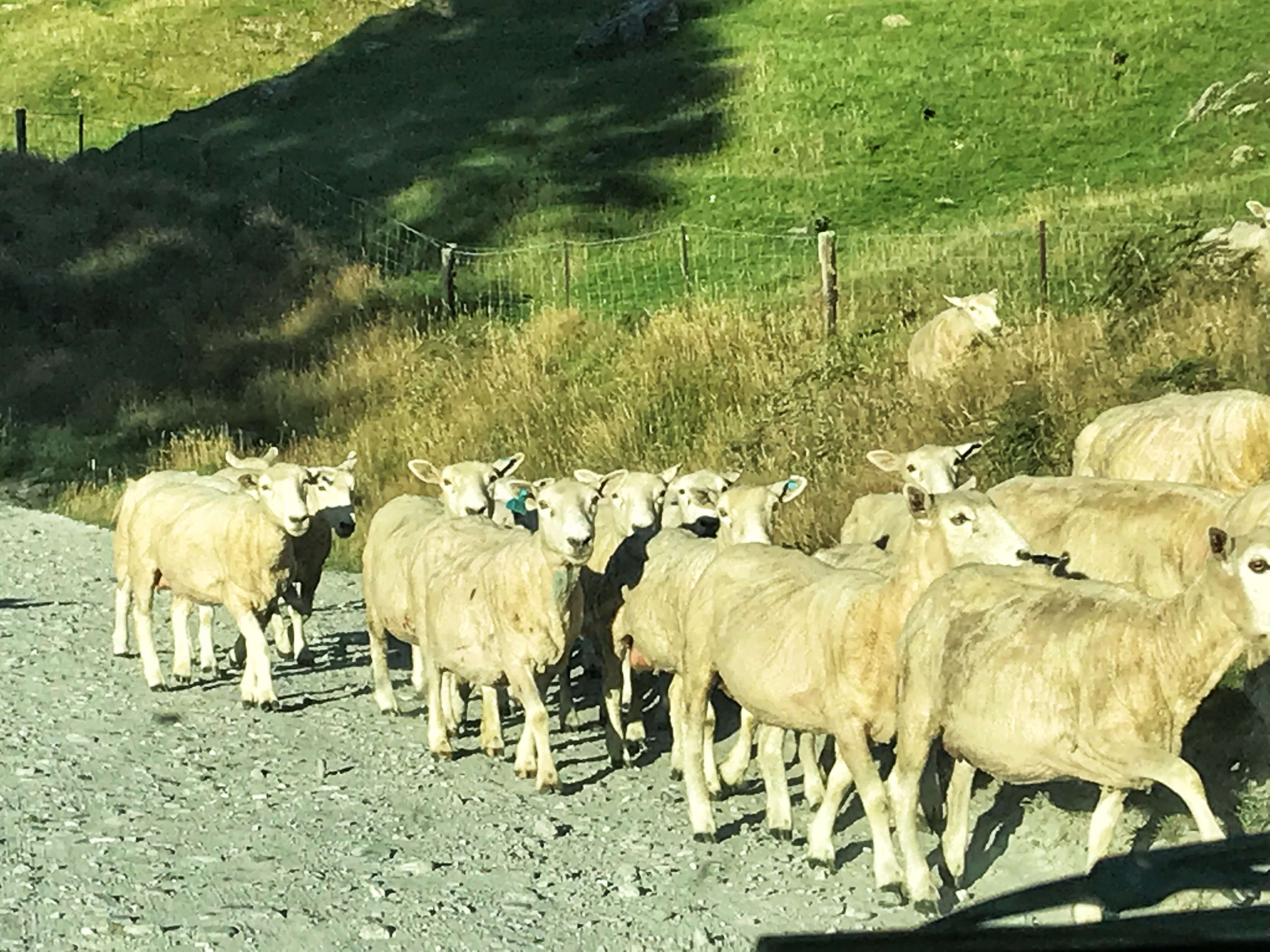 sheep on Rob Roy Glacier track