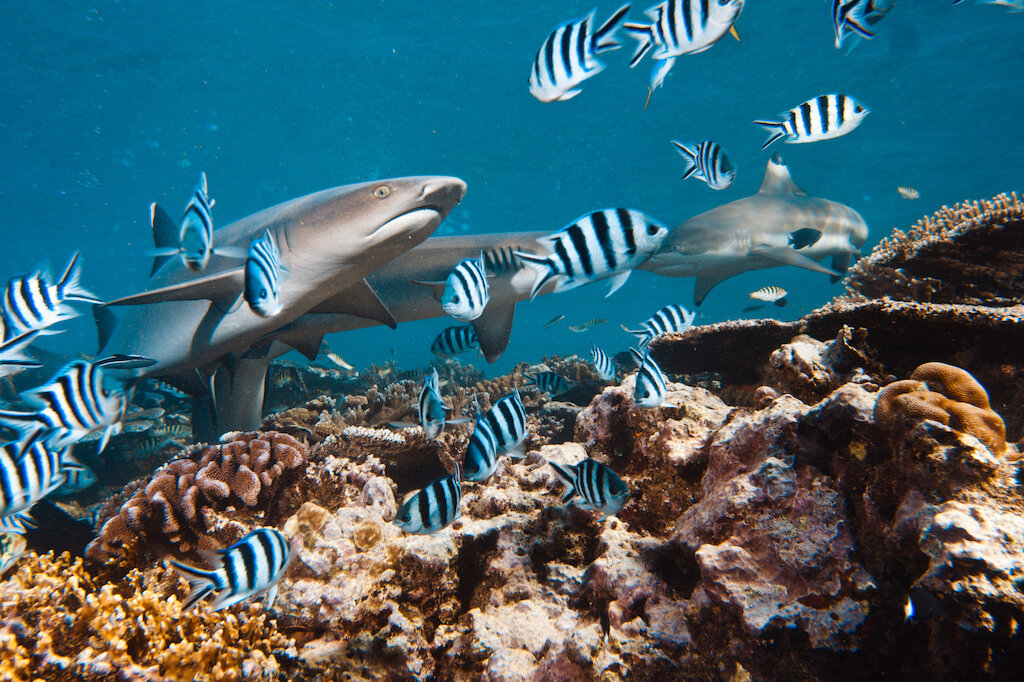 sharks and tropical fish swimming near coral