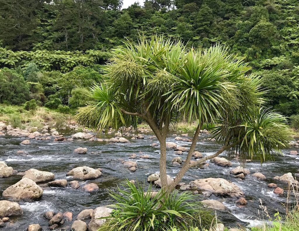 scrubby tree and river on New Zealand's North Island
