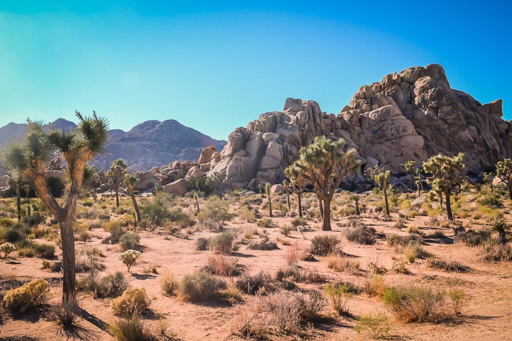 scrubby desert with Joshua trees
