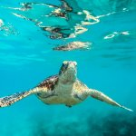 snorkeling-with-sea-turtles-tunnels-beach-kauai
