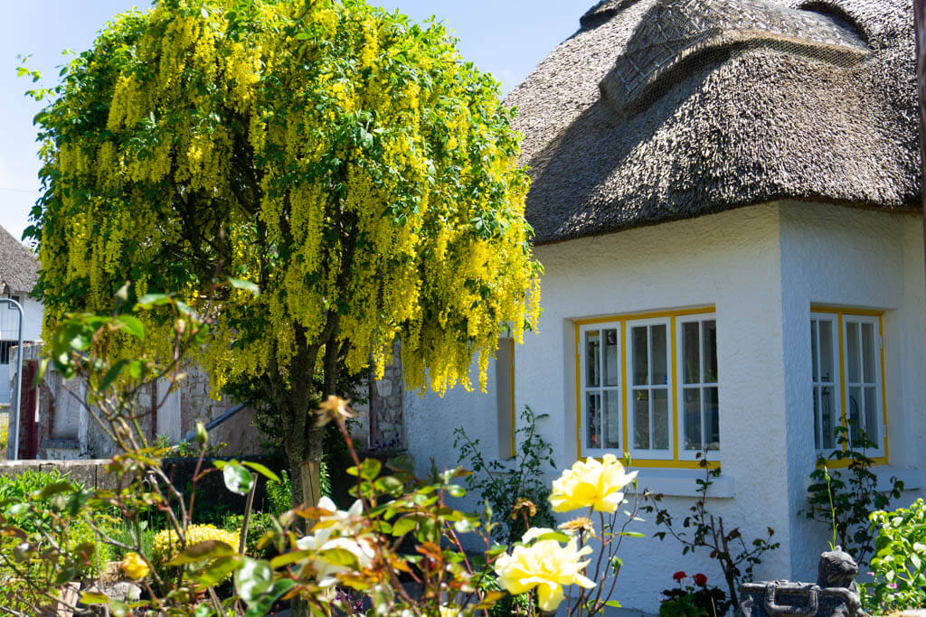 thatched cottage and yellow flowered tree with roses in front
