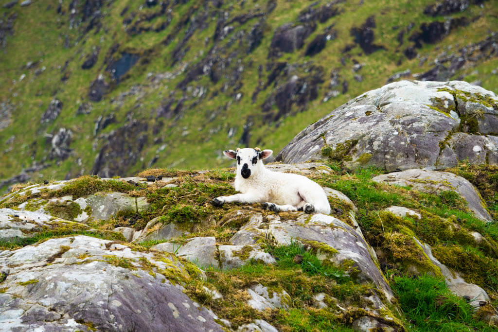 a baby lamb perched on rocks in an impossibly green landscape