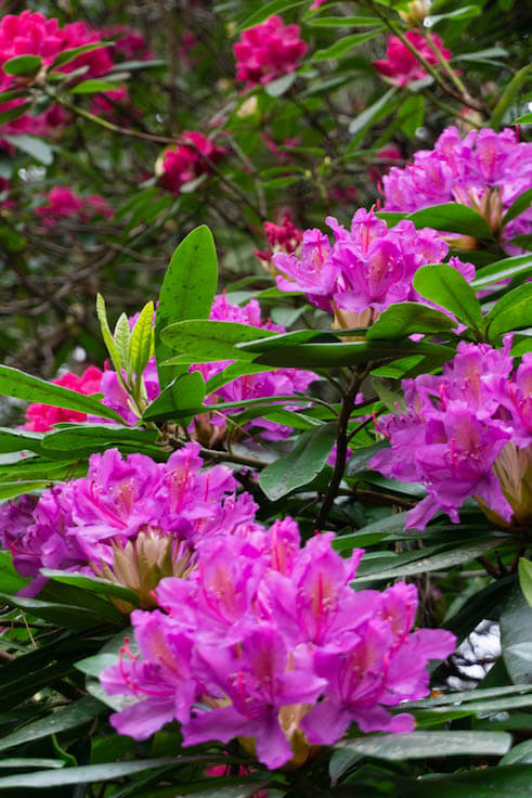 close-up shot of bright pink rhododendrons