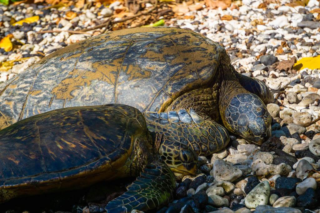 Hawaiian sea turtle in west Maui