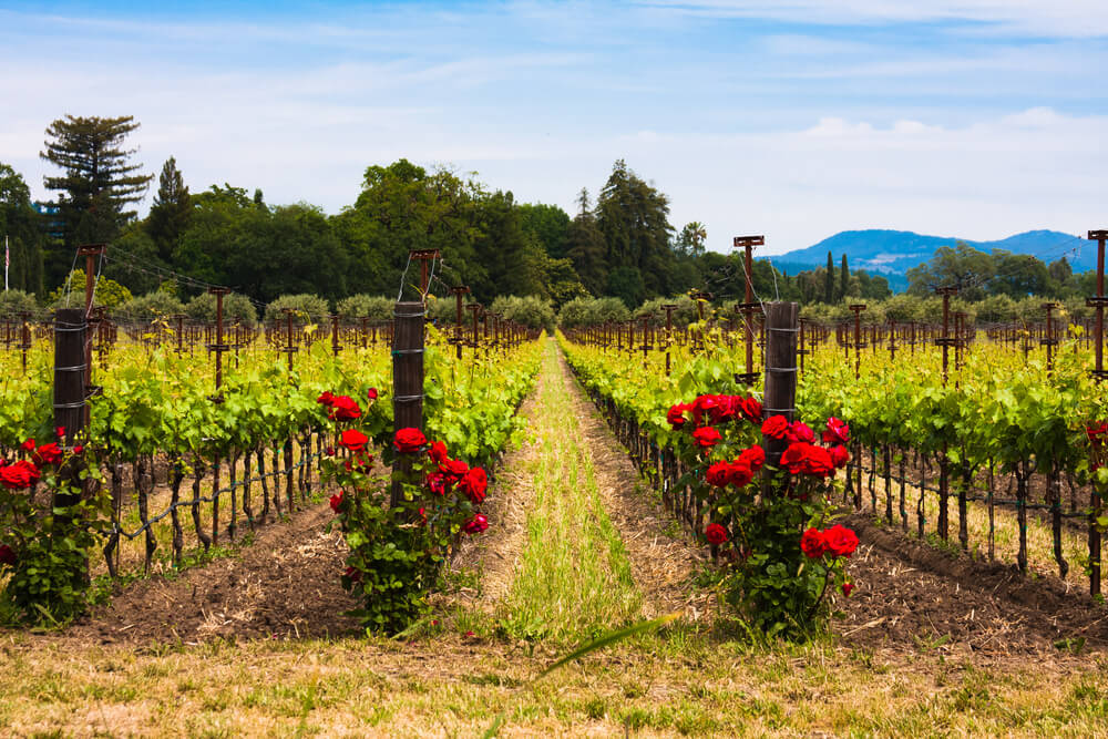 Vineyards with red roses