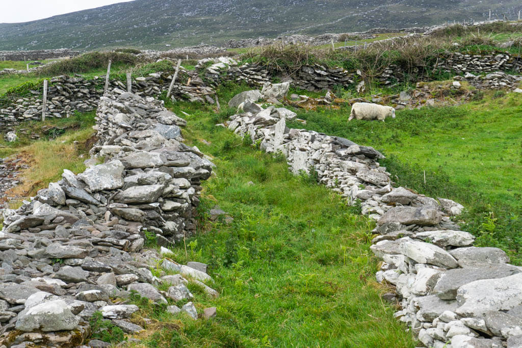 sheep by a rocky wall in Dingle