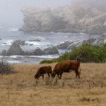 cows grazing with rocky Big Sur coastline behind