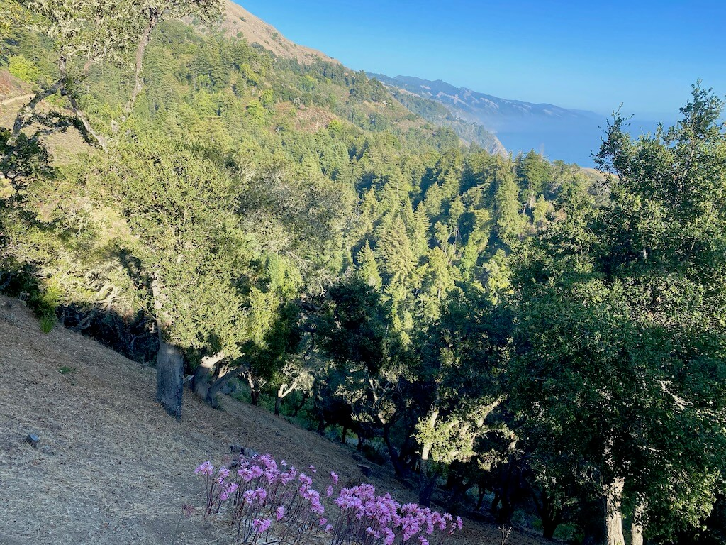 View of pink naked lady flowers under forest outside of Big Sur