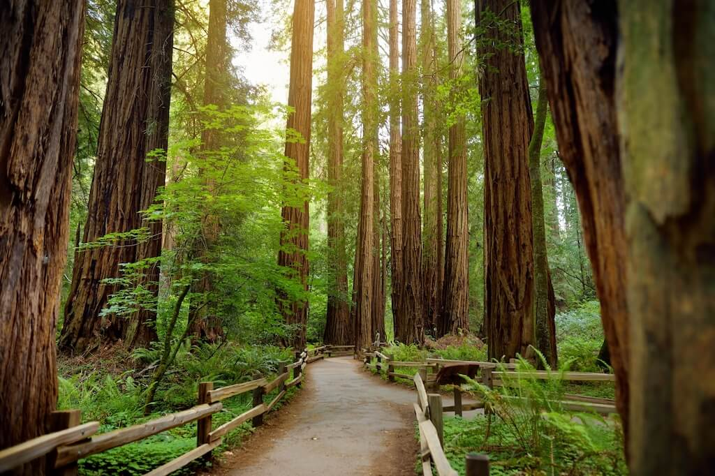 redwoods on a trail in Muire Woods