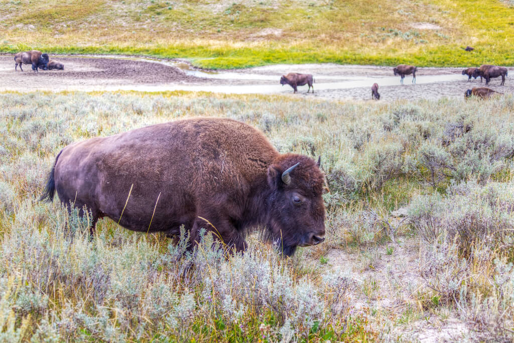 Herd of bisons grazing at Hayden Valley in Yellowstone National Park, Wyoming, USA.