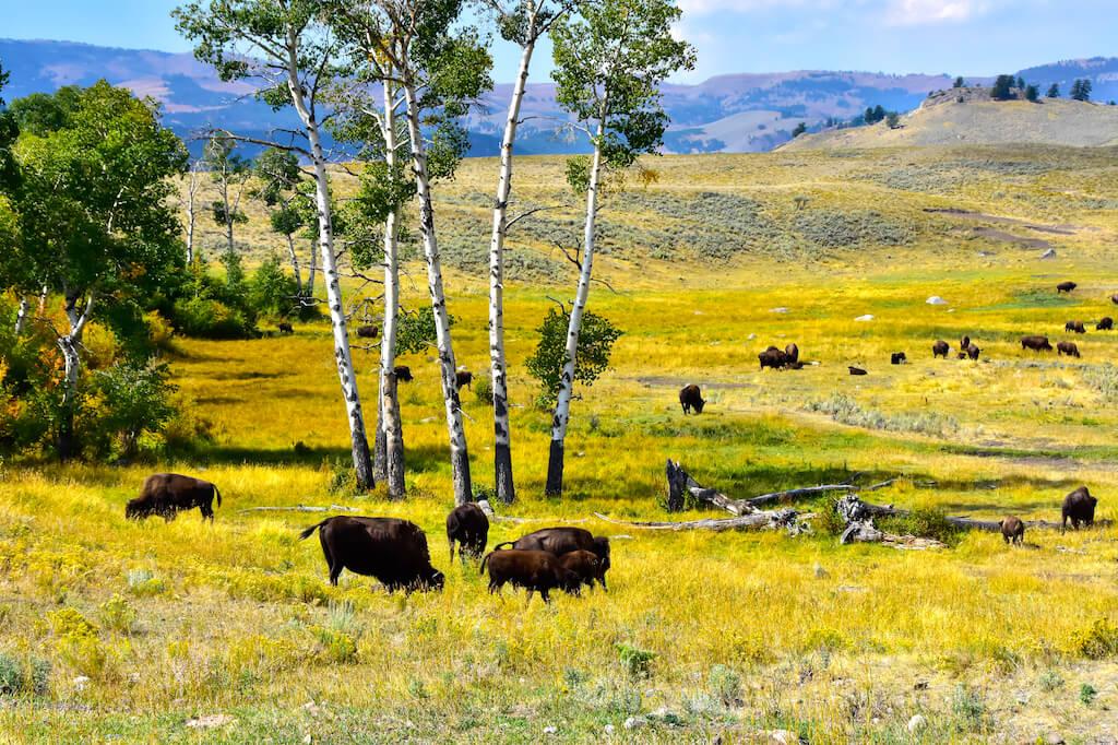 Buffalo herd in the Lamar Valley, Yellowstone.