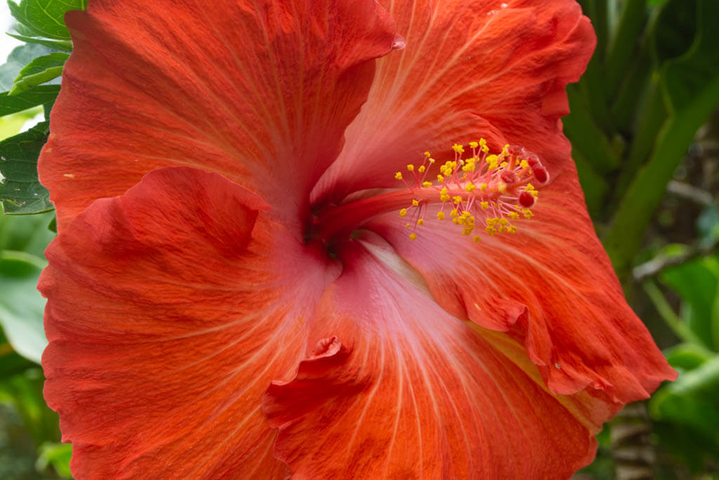 bright close-up of red Hibiscus flower