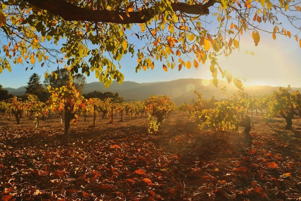 sunset over a vineyard with golden grape vines