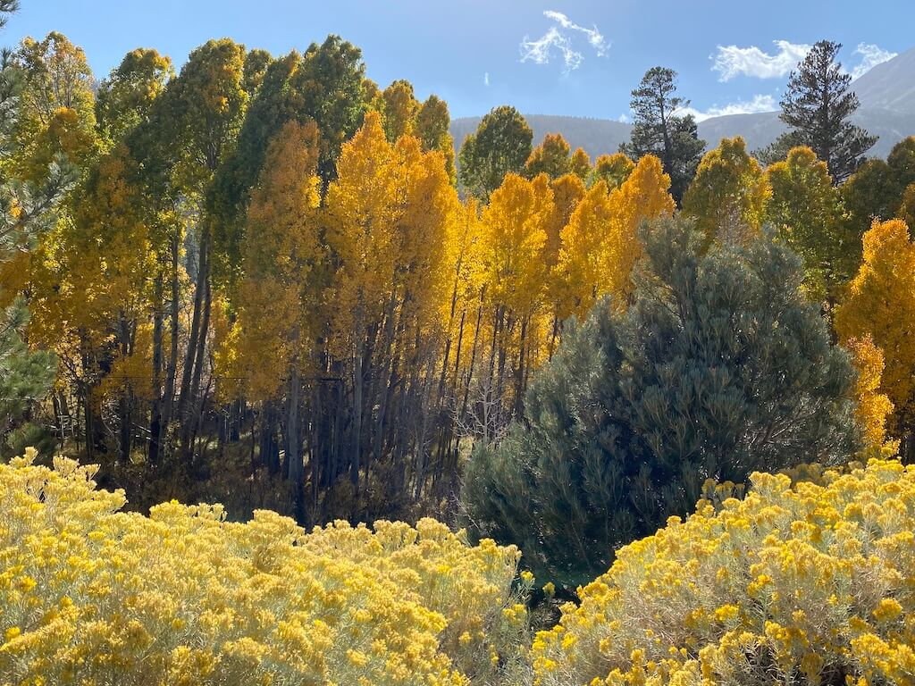 Golden wildflowers and Golden trees on Tioga Pass