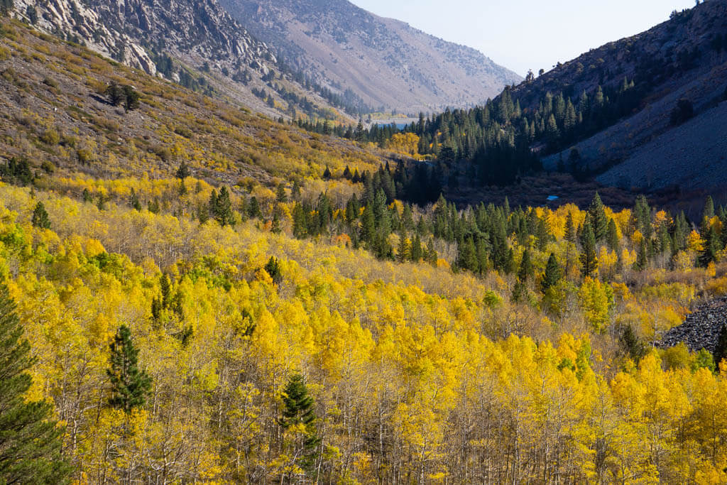 Valley of bright yellow tree foliage cradled by the Eastern Sierra Mountains