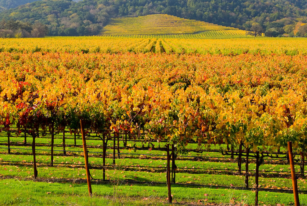 orange grapevines in Napa Valley vineyard