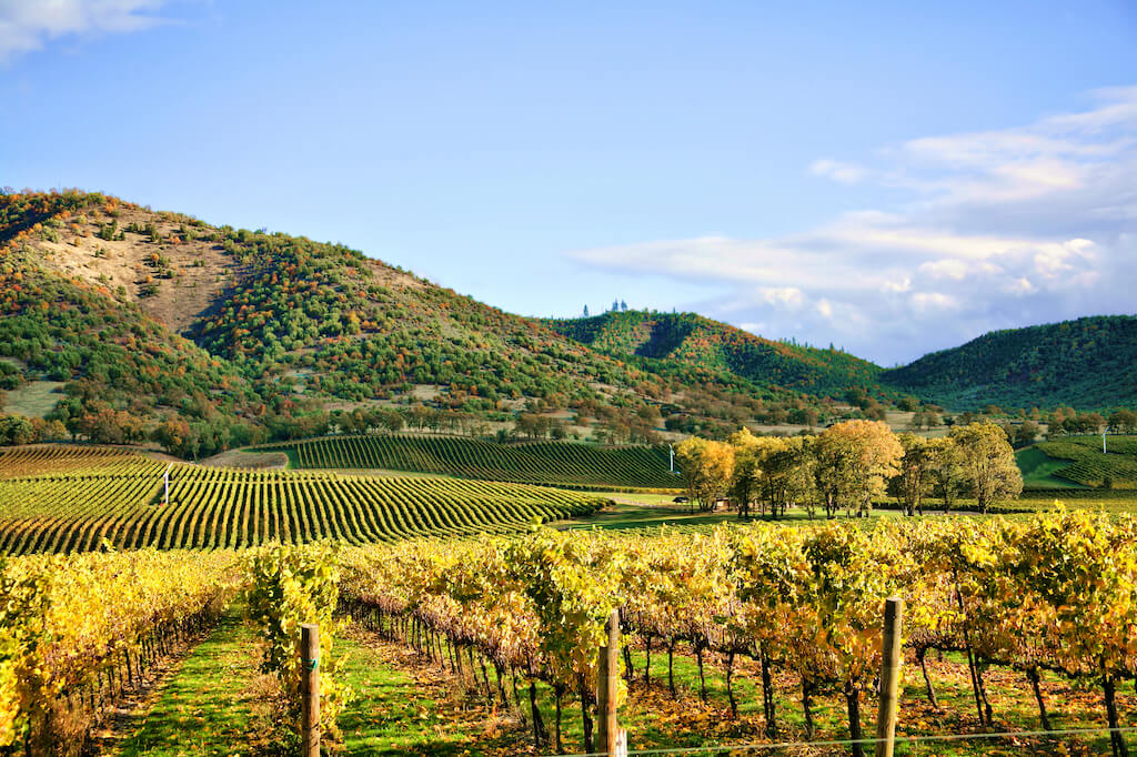 Autumn Vineyard - Rows of Grapevines in Fall