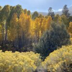Golden trees and bright yellow fall flowers on Tioga Pass near Yosemite