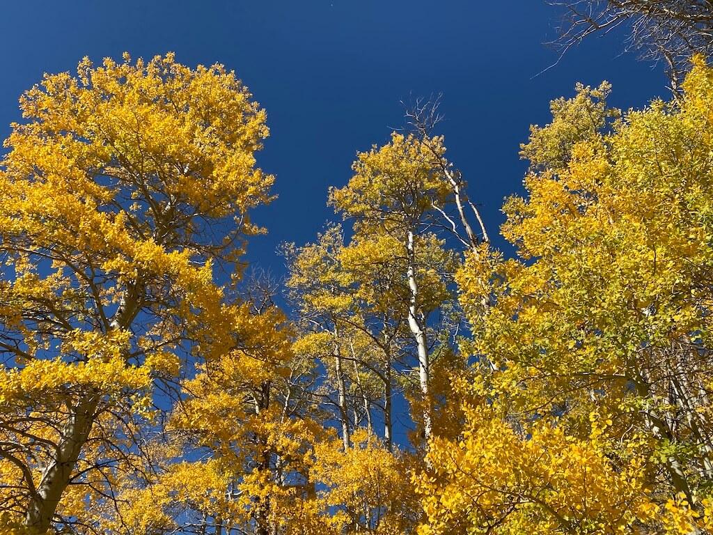 bright golden tree foliage against bright blue sky