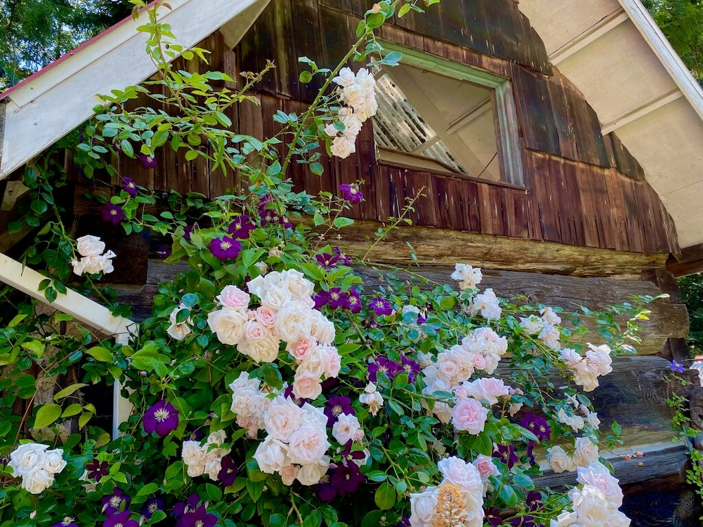 pale pink roses vining over a rustic cabin