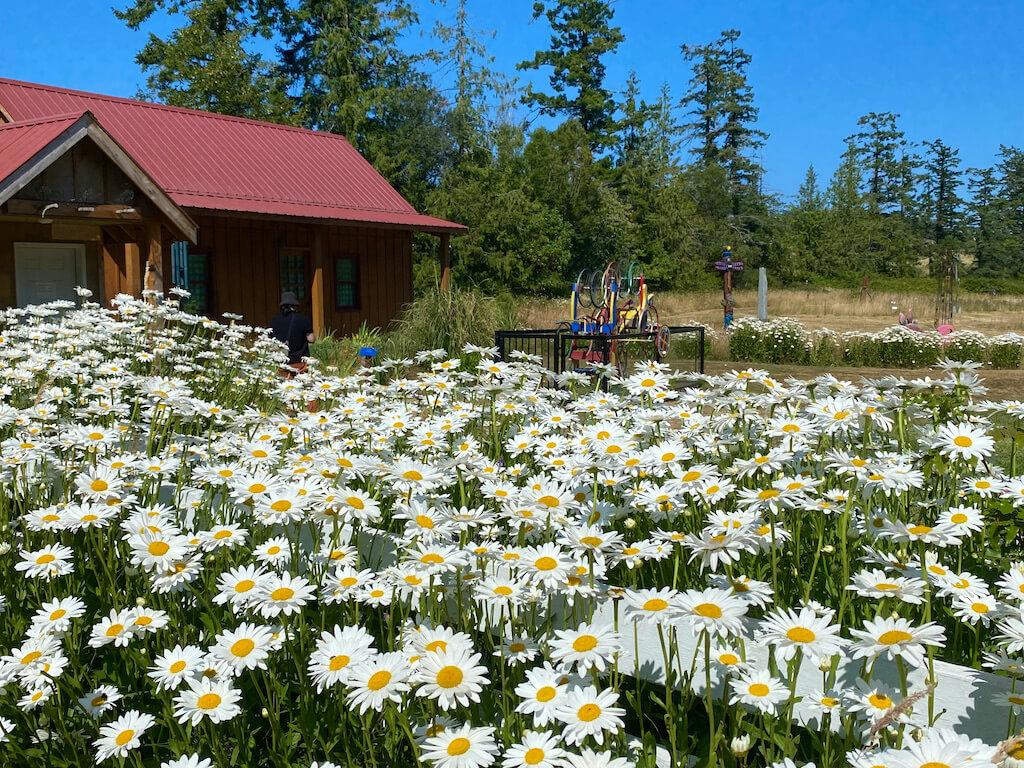 field of daisies near the Sculpture Garden
