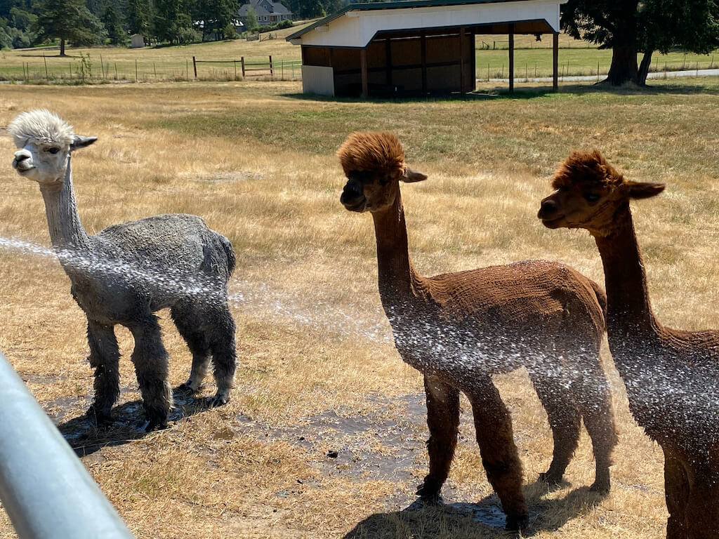 three lamas being sprayed with a hose on a hot day