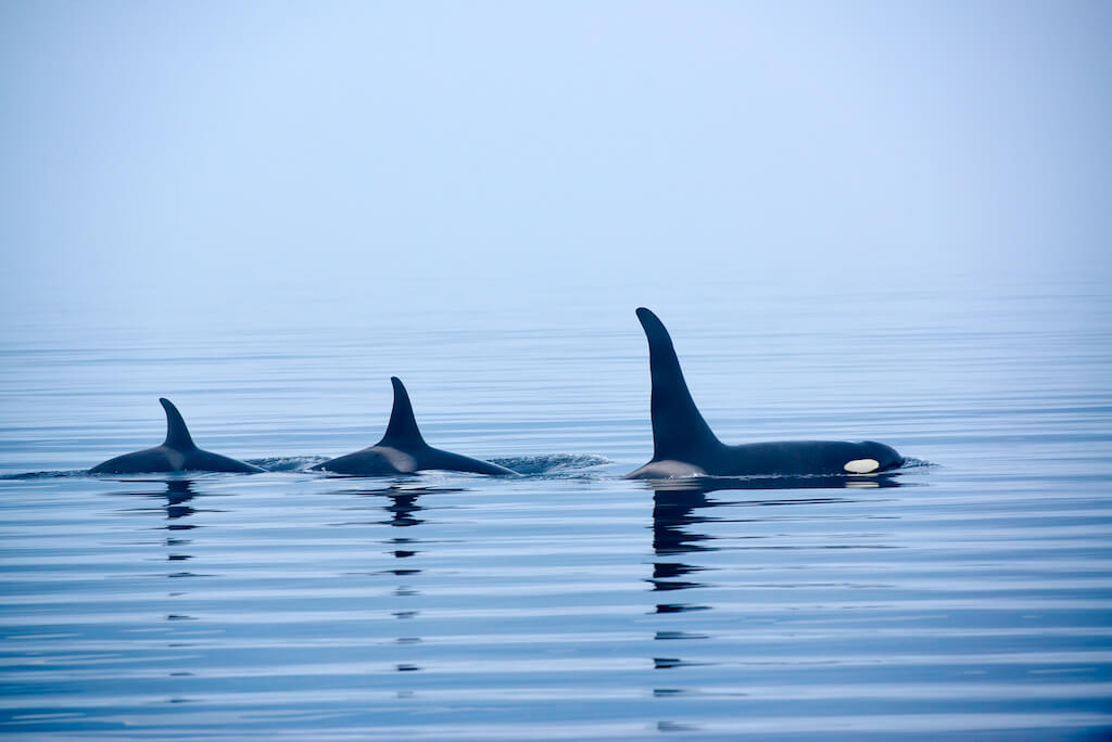three orca whales with fins above the water