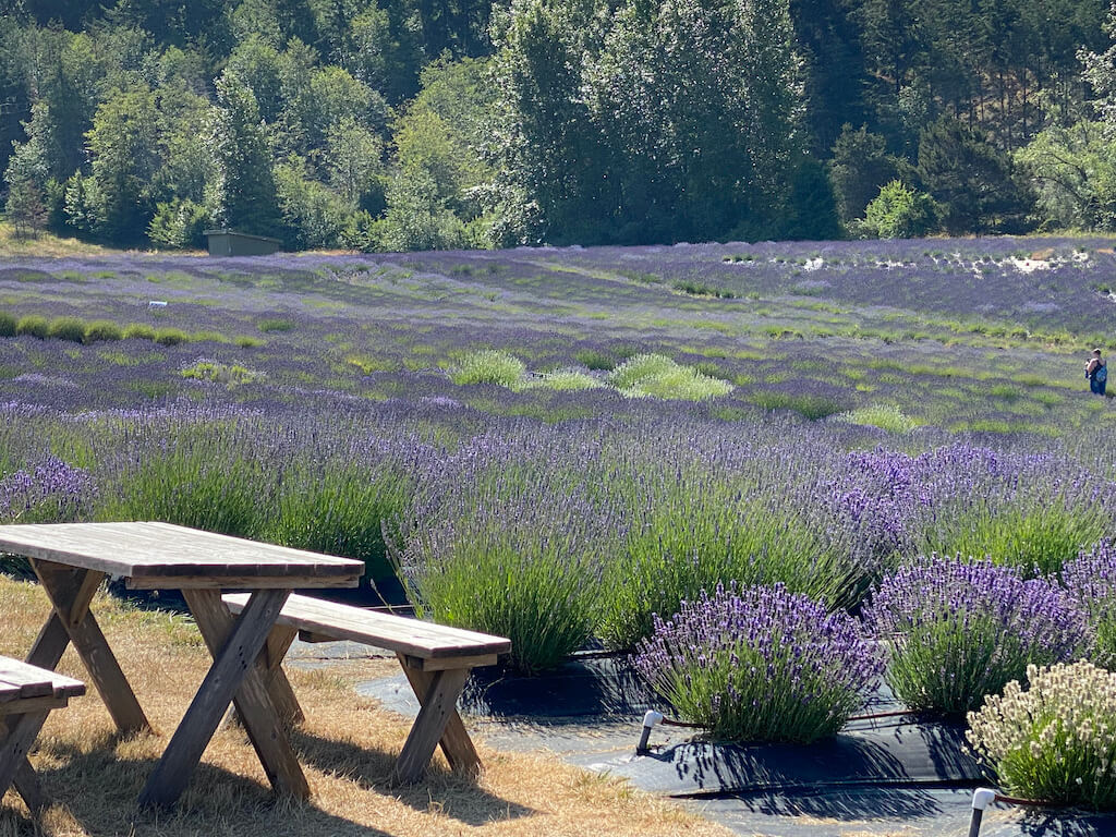 field of lavender by picnic table