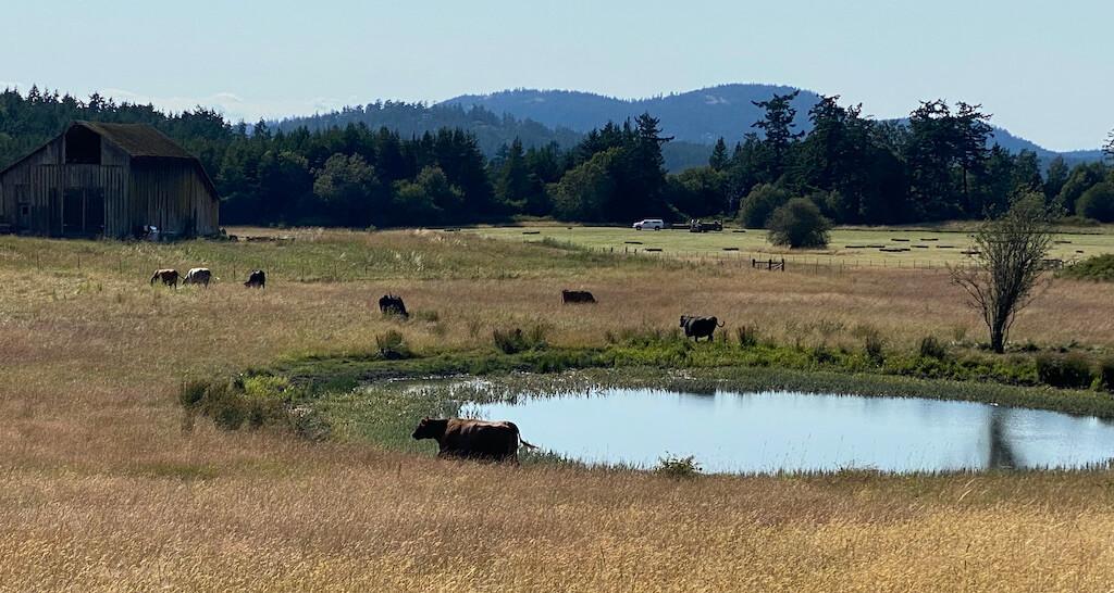 cows near a pond