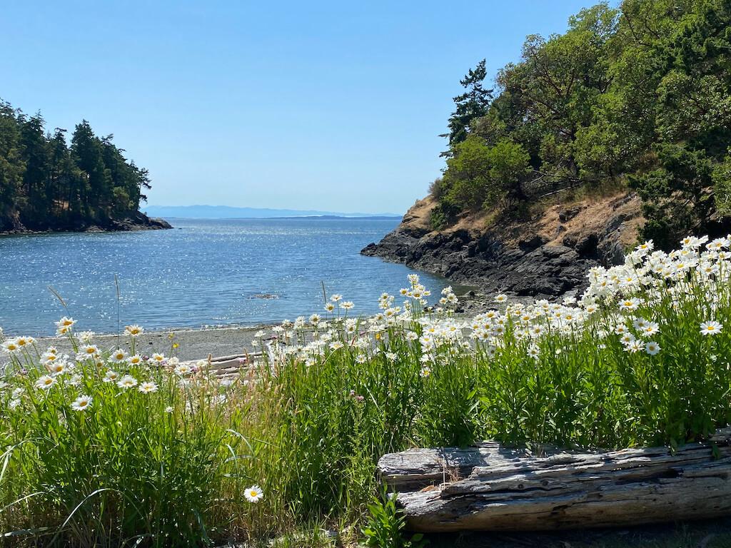 Daisies near an ocean bay