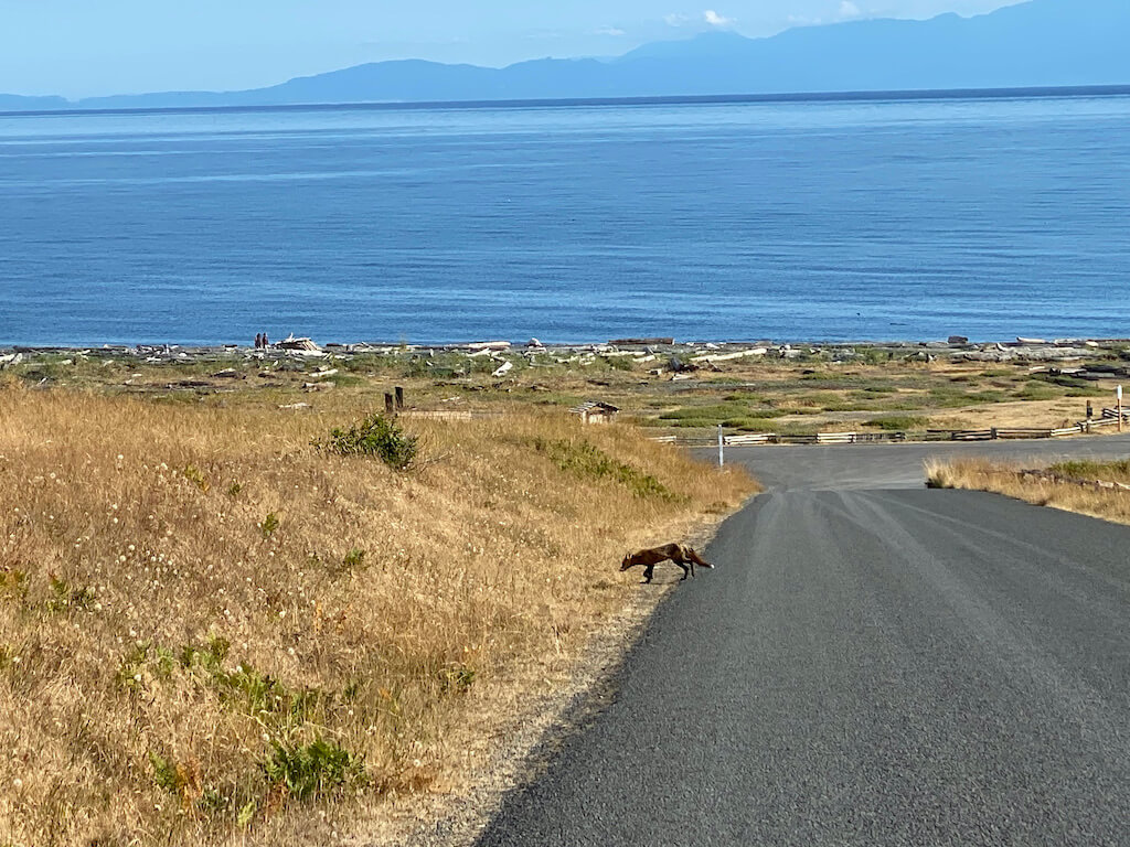 red fox crossing a road with ocean views