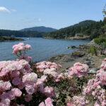 Ocean view through clusters of pink roses