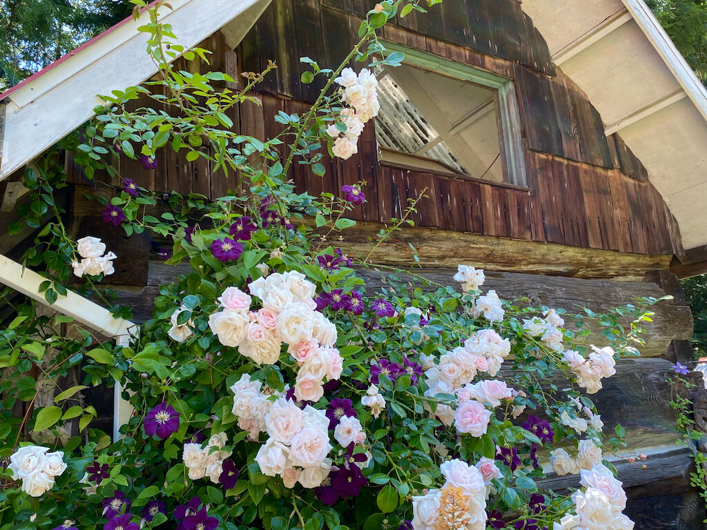 historic a-frame with pale pink roses and purple morning glories