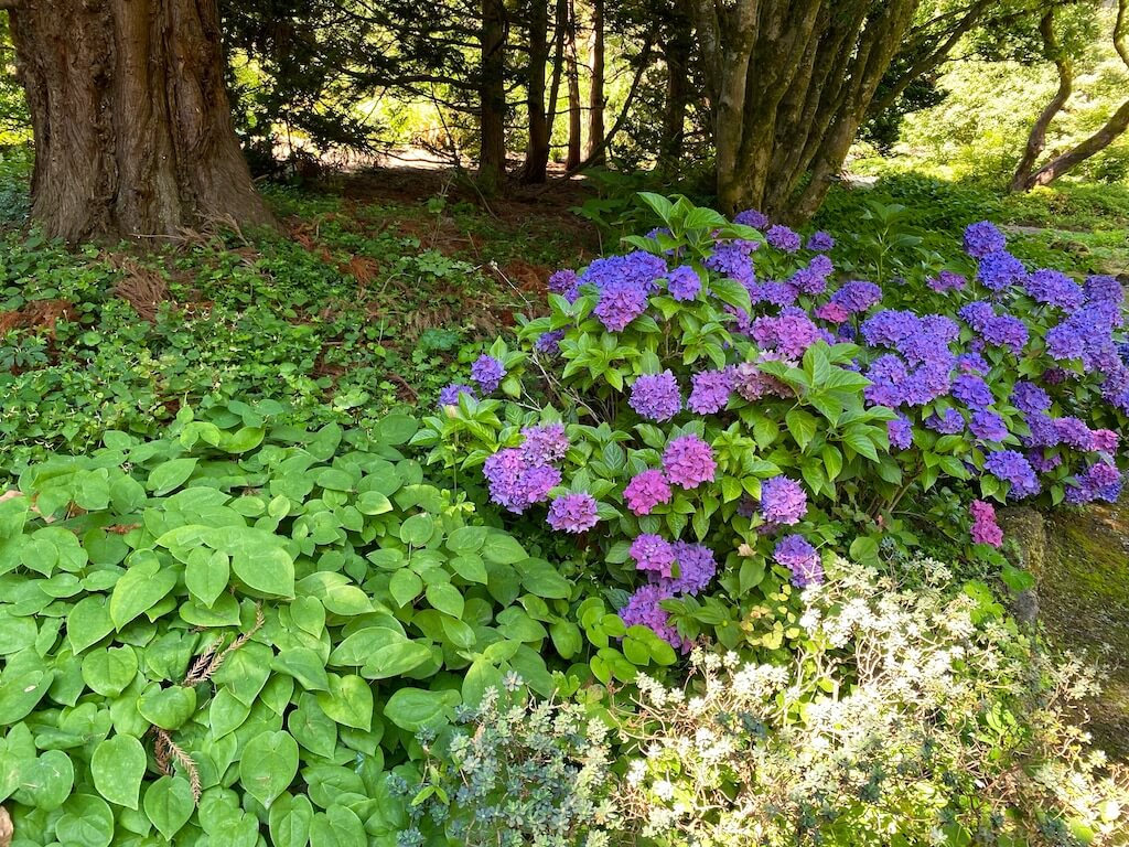 Purple hydrangeas at Bishops Close, one of the best free things to do in Portland