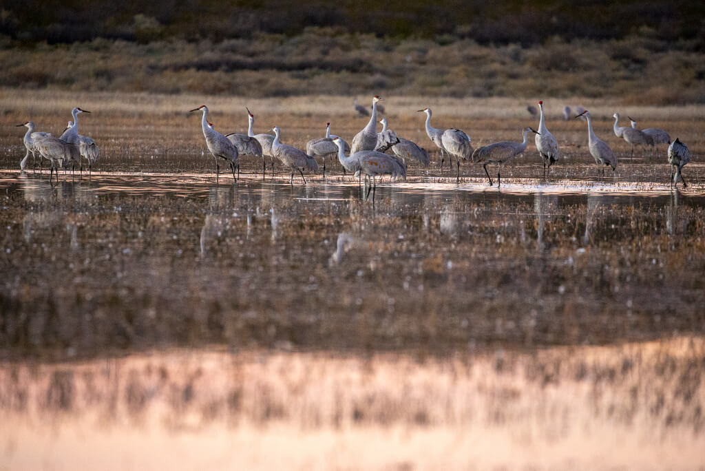 cranes in the marsh at Bosque del Apache in November