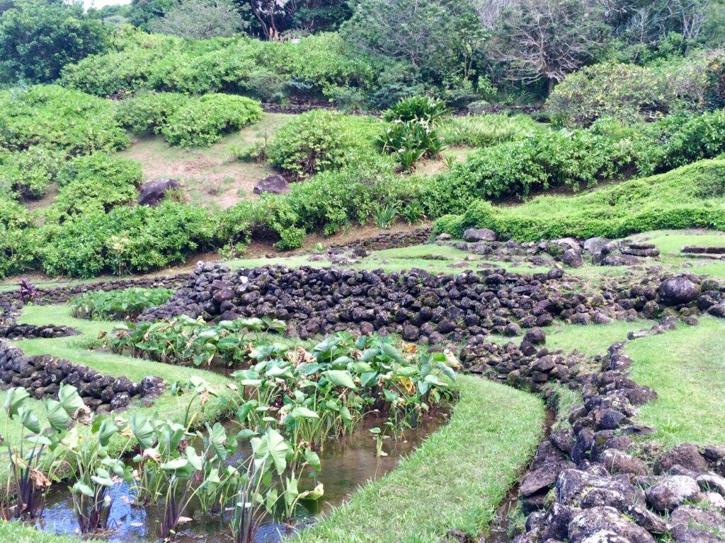 Taro in the Canoe gardens in kauai