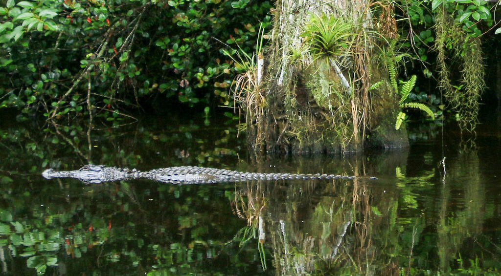 alligator just above surface of the water