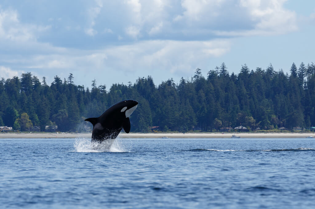black and white killer whale jumping