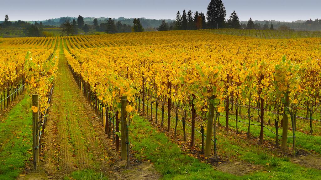 bright yellow grape vines in Sonoma California
