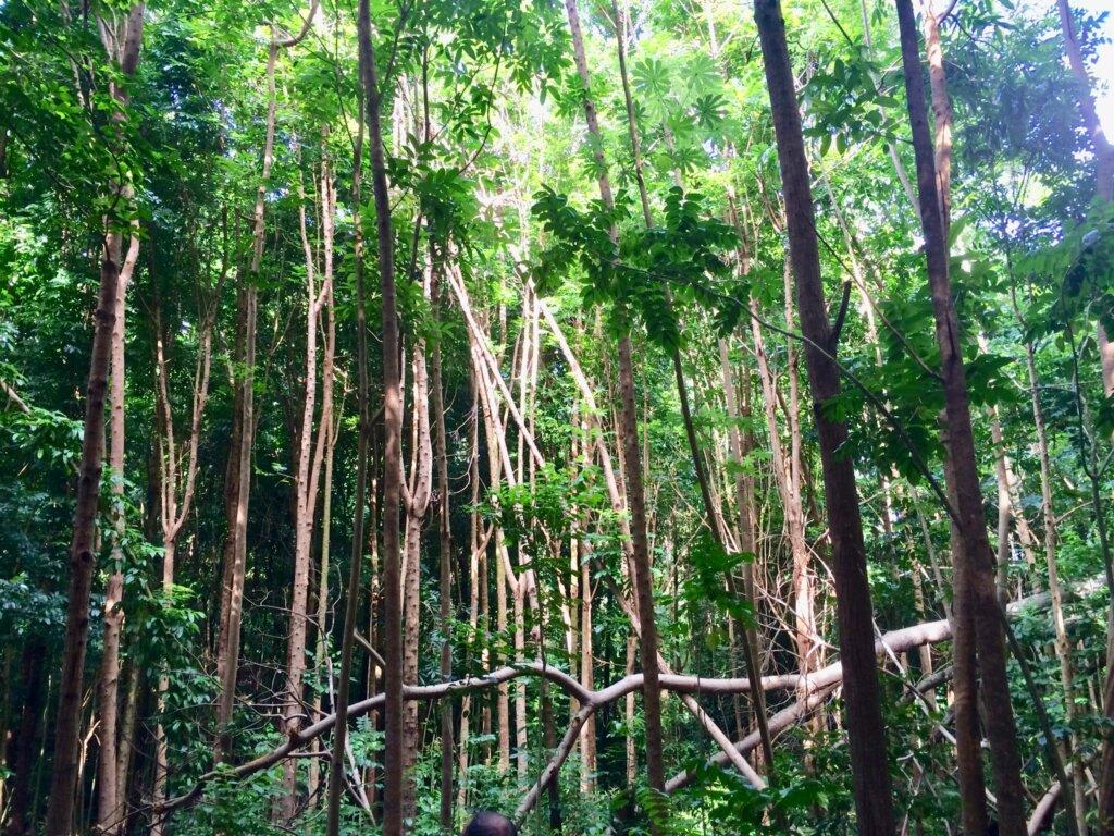 deep in the forest on Kauai