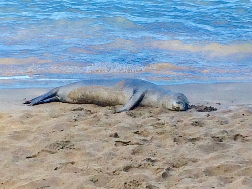 monk seal sleeping on the beach