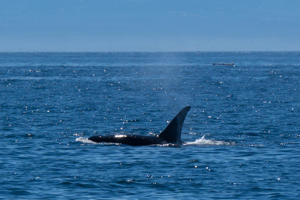 lone orca cutting through the water