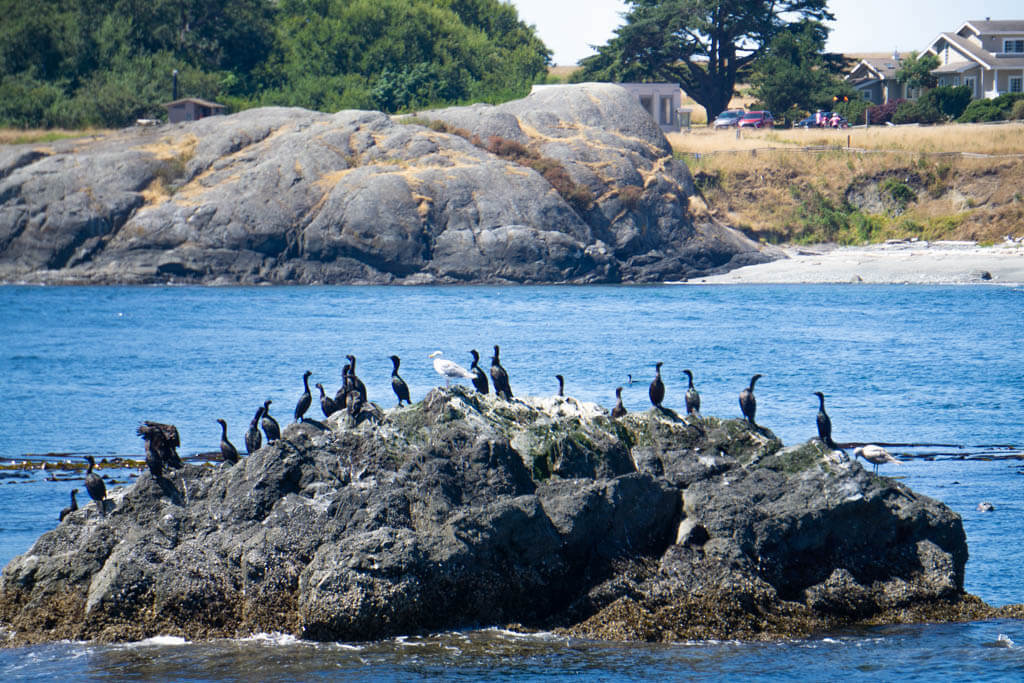 sea birds huddled on a rock in the Salish Sea