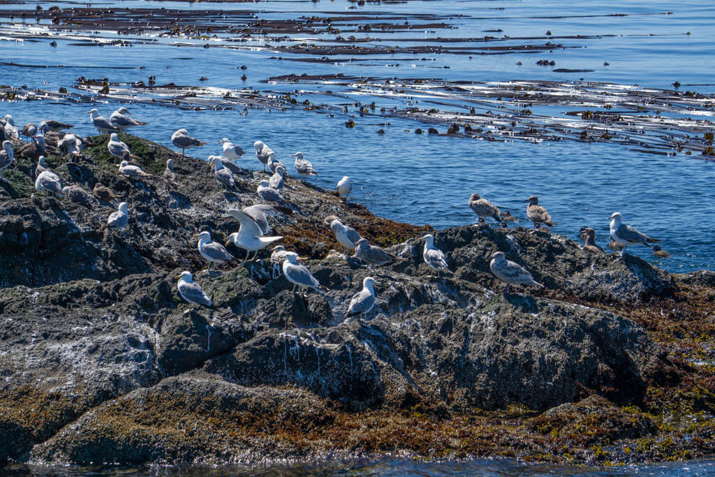 seagulls on a rock