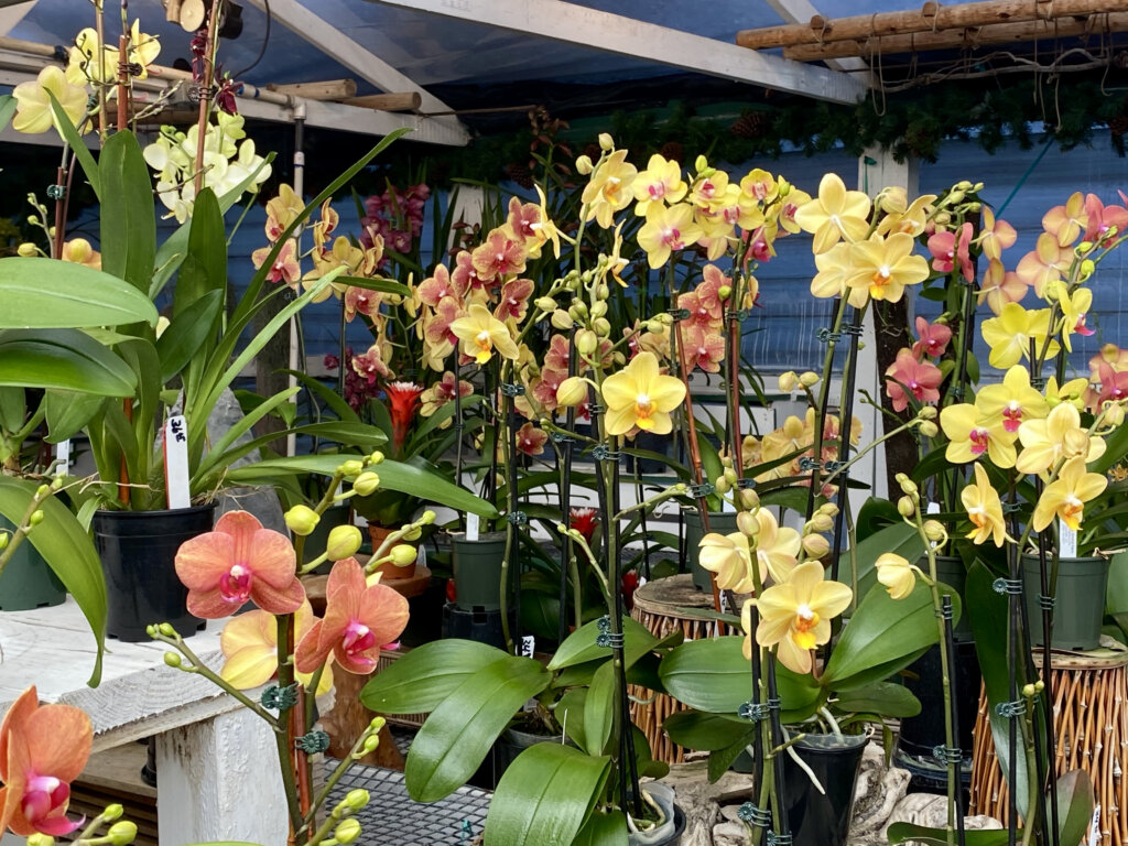 bright yellow, pink and orange orchids