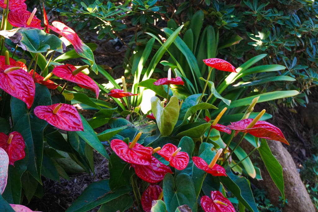 bright pink peace lily flowers